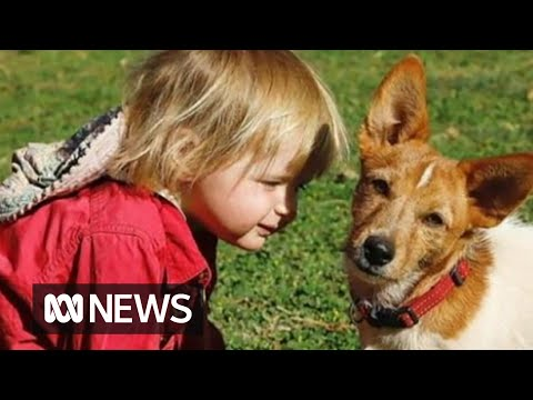 Tribute for hero dog that stayed with the toddler who went missing in WA floods   ABC News