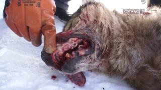 Волки напали на Шанхай 28 02 2017