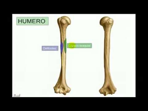 Anatomía del Húmero - YouTube