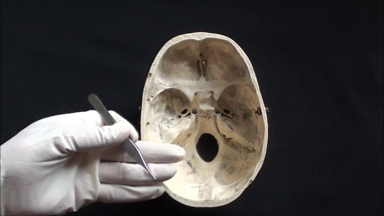 superior view of the base of the skull anatomy kenhub - 1280×720