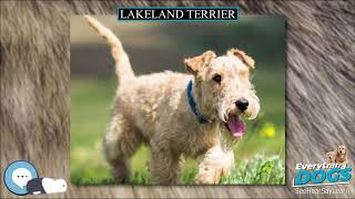 Lakeland Terrier  Everything Dog Breeds