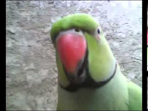 Talking Parrot sindhi._0004.mpg