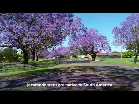Jacaranda Town - Grafton, NSW, Australia. Sooooo beautiful!!!