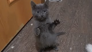 Only a gray kitten loves to play