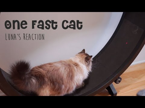 OneFastCat - Siberian Cat's Reaction