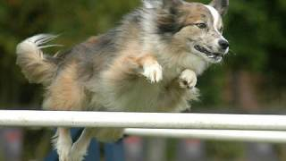 Dog Agility Competition (in Hd)