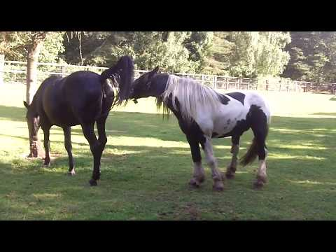 Colt gets a good kicking for trying to cover/mate the mare.