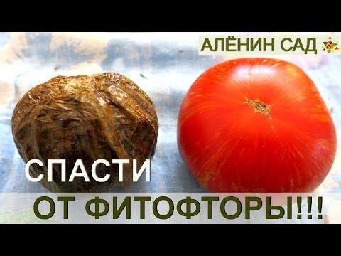 Как СПАСТИ урожай томатов от фитофторы?! / Проверенный способ!