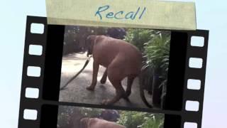 Bullmastiff Puppy Basic Obedience Training (client's Dog)