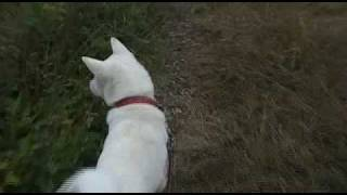 紀州犬との散歩旅です。
