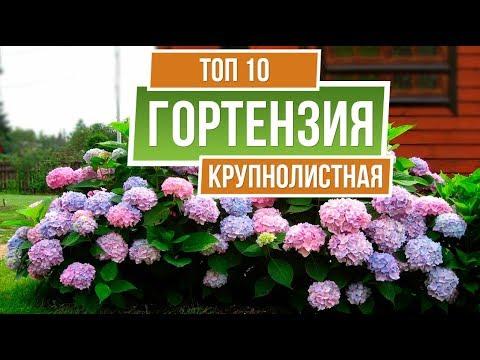 ТОП 10 СОРТОВ ✔️ Гортензия крупнолистная �� Лучшие сорта для средней полосы