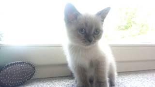 Шотландские котята 3 месяца Scotisch Streit 3 Monat
