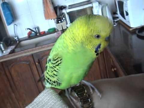 Говорящий попугай Гоша-говороша 1