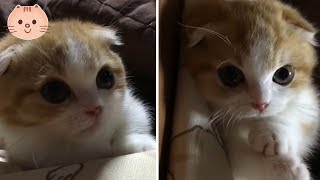 Too Adorable Munchkin Kitty | Cute Dose