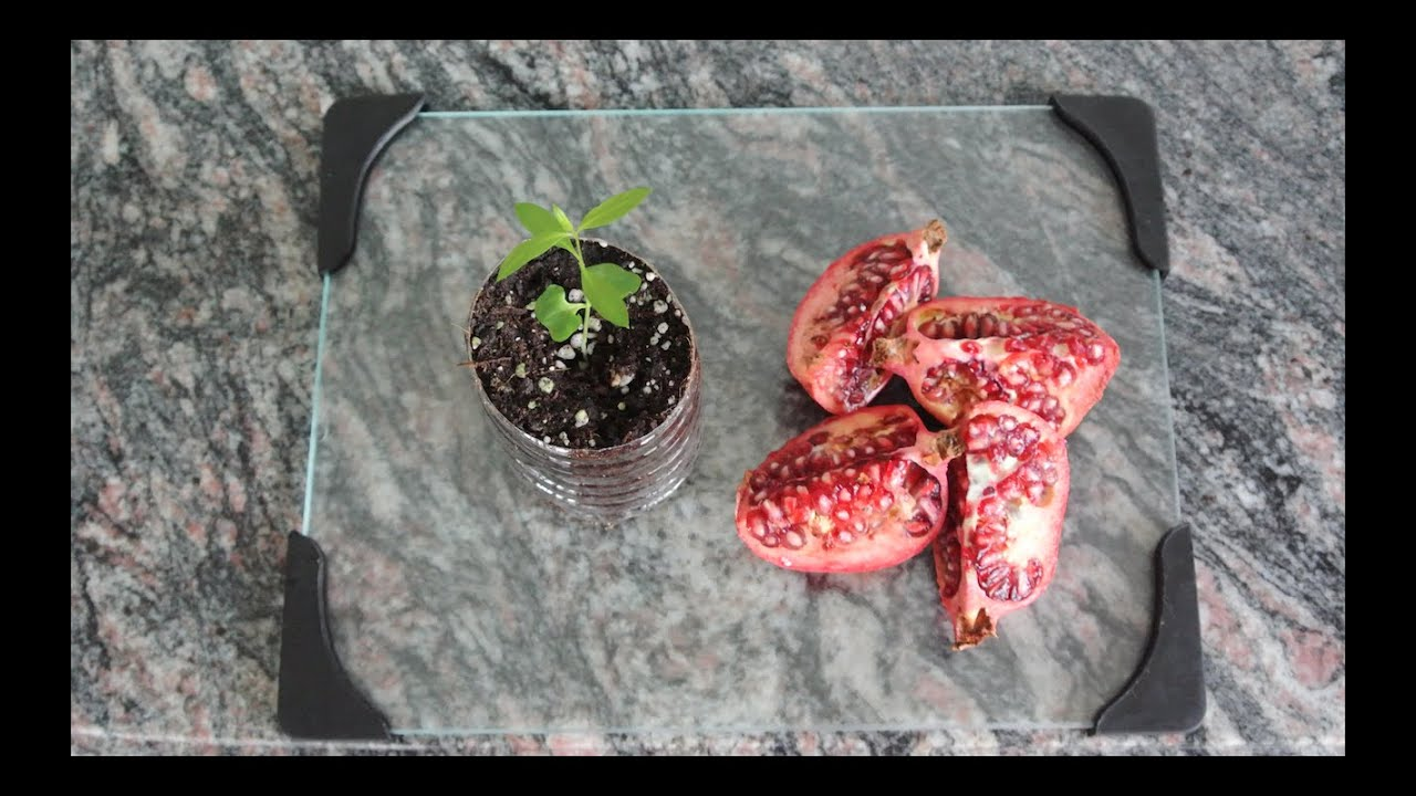 How To Grow A Pomegranate Tree From Seed Works Every Time