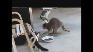 наглый енот ворует корм у котиков