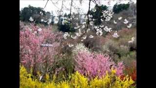 我心深處(鄧麗君Teresa Teng逝世18週年紀念影片)花見山賞櫻