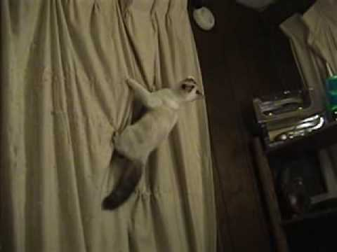 Kitten attacks Curtains