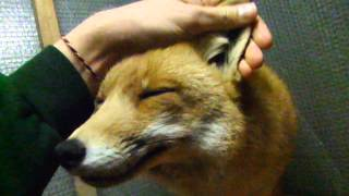 Foxy likes ^^