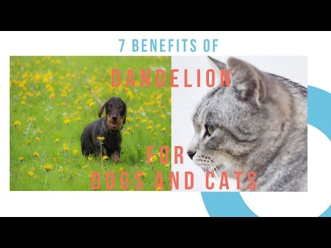 7 Benefits of Dandelion for Dogs and Cats