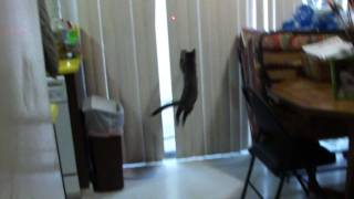 Cute kittens with laser pointer