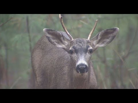 Winchester World Of Whitetail S4E8 Vancouver Island Blacktail