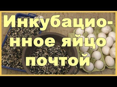 Инкубационное яйцо почтой с минимальными потерями