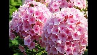 Многолетние цветы. Флоксы