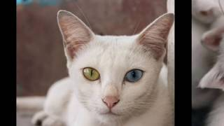 Как выглядят породы кошек(КАО МАНИ с разноцветными  глазами)
