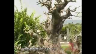 Bonsai_part 1-cina Prestigioso Qu Yi Garden (mr.chengfa Wu) Shenzhen.wmv