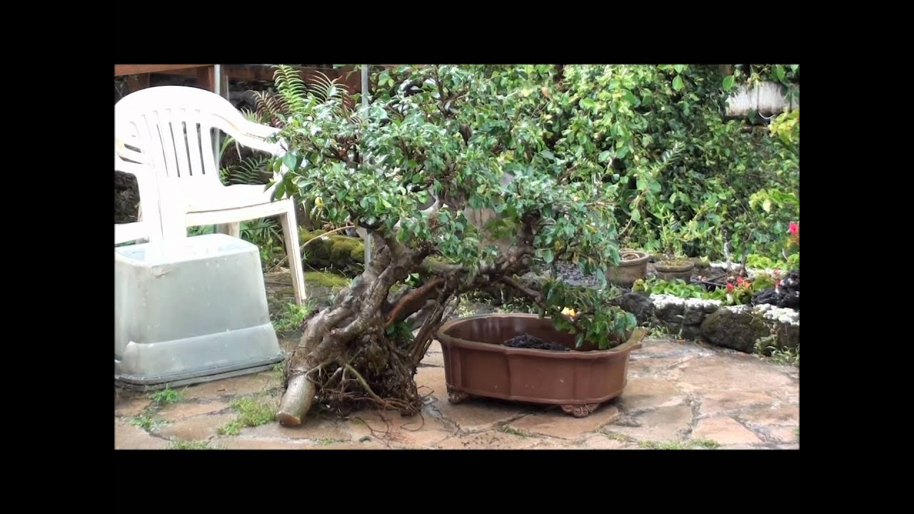 How to bonsai trees for beginners - How To Bonsai Trees For Beginners 4