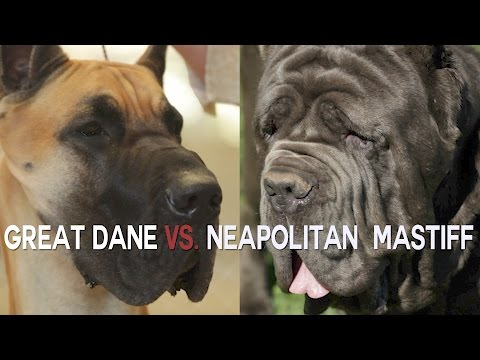 GREAT DANE vs. NEAPOLITAN MASTIFFS TWO OF THE LARGEST WATCH DOGS