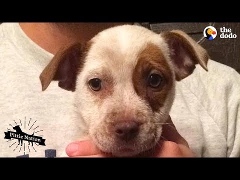 Couple Becomes First-Time Dog Parents To A Baby Pittie   The Dodo Pittie Nation