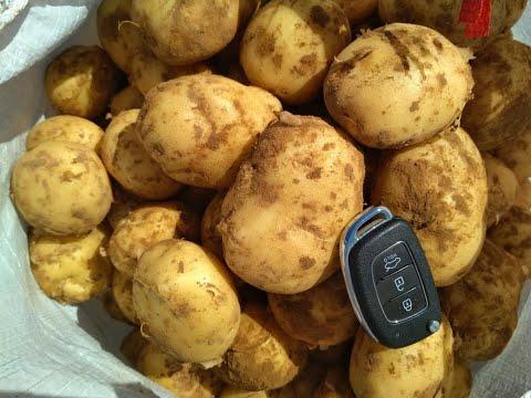 Семенной картофель - проблема фермеров №1.