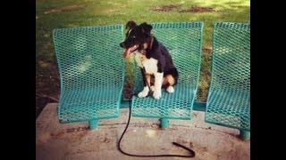 Tulsa Obedience Training With Brit - Australian Shepherd
