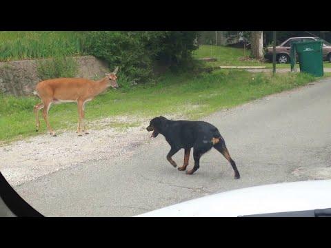 Вот на Что Способны Самые Сильные Собаки в Мире