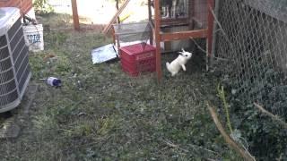 Napoleon the bunny v hera the goat