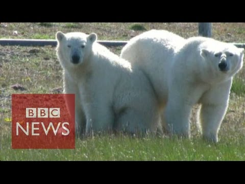 Scientists trapped by hungry polar bears - BBC News