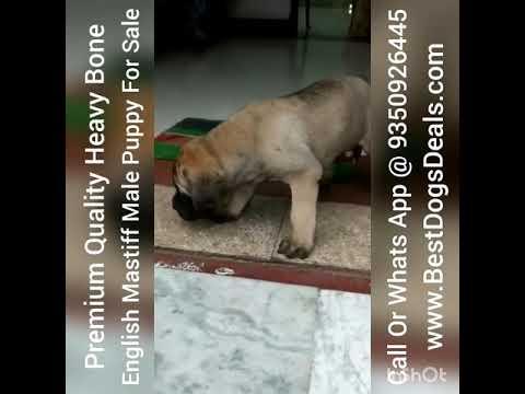 English Mastiff Male Puppy For Sale In India 9350926445 Import Champion Line English Mastiff Male