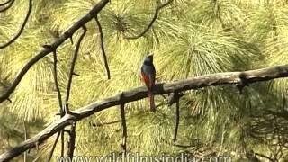 Scarlet Minivet on a pine tree in the Himalaya