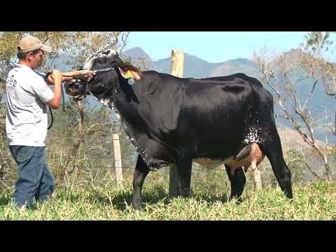 LOTE 36   280   COC AGROPECUÁRIA   LEILÃO ALIANÇA GENÉTICA