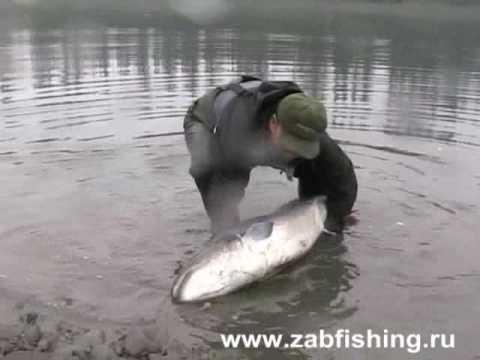 Siberian Salmon (Hugo Taymen). About 50 Kg,