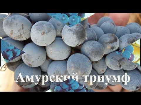 Морозостойкие сорта винограда -40°C - -47°C   потапенко_7   потапенко   амурский   триумф   прорыв   альфа   один   грей   кей