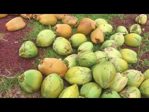 5 Tree Coconut Harvest On Big Island Hawaii With Lone Wolf Tree Stand