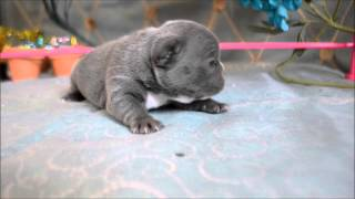 Rare Blue French Bulldog Puppies For Sale **www.royalbluebulldogz.com**