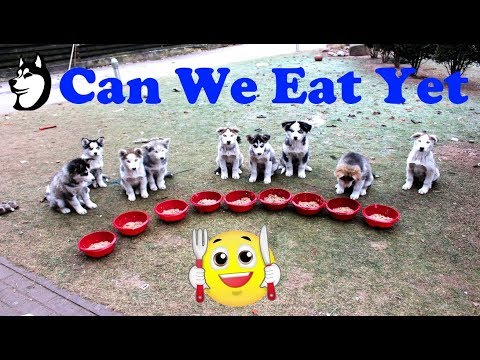 Finally! A Bowl For Each Husky Puppy: 14 Weeks Old(2018)
