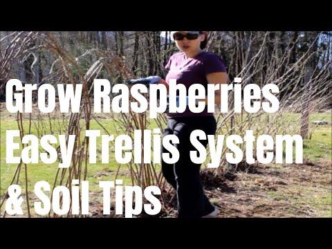How to tie and trellis raspberries