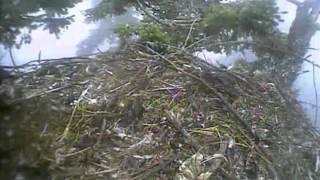 Humboldt Bay eagles,intruder eagle does ps in nest lol,7/23/13