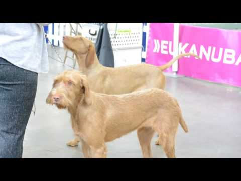 Hungarian Vizsla Highlights - Most Beatiful Dog