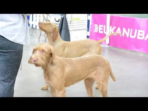 Hungarian Vizsla Highlights - Most Beatiful Dog
